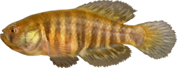 00-0-Copr_2014-W_Costa-Holotype-UFRJ_9797_male_35-2mm_SLt.png