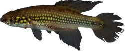 00-1-Copr-2016_W_Costa-holotype_UFRJ_10662t.png