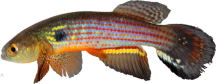 00-1-Copr_2015-WEJM_Costa-Holotype_UFRJ_10083t.png