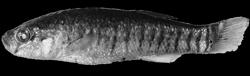 00-0-Copr_2001-A_Getahun-Holotype-AMNH_223755_91mm_Lake_Afdera_Ethiopiat.png